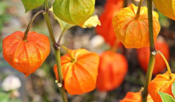 Ashwagandha flower