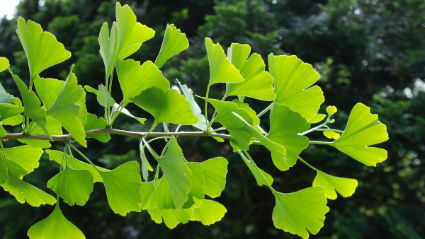 Ginkgo Biloba ALPHARAW ingredients